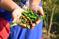 closeup of Green organic chili pepper holding in young farmer's hand at farm field,.