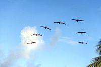 Pelicans flying in V formation.