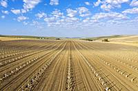 Cultivated young olive trees (Olea europaea) in the Campiña Cordobesa, the fertile rural area south of the town of Córdoba. Aerial view. Drone shot. C...