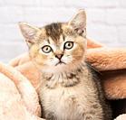 portrait of a kitten scottish chinchilla straight sitting in a blanket, close up.