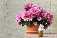 Chrysanthemums and night light. Quincy-Voisins. Seine et Marne. France. Europe.