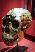 Homo ergaster skull replica, Museo Comarcal de Molina de Aragón, Guadalajara, Spain.