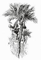 Man harvesting dates on palm trees. Ancient Egypt History. Old 19th century engraved illustration from El Mundo Ilustrado 1879.