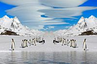 King Penguins (Aptenodytes patagonicus) walking on snow covered Salisbury Plain, South Georgia Island, Antarctic.