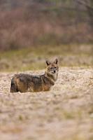 Golden jackal - CHACAL DORADO (Canis aureus), Danube Delta - DELTA DEL DANUBIO, Ramsar Wetland, Unesco World Heritgage Site, Tulcea County, Romania, E...