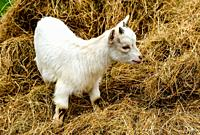 A young Pygmy Goat.
