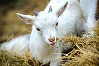 Pygmy Goat kid tasting hay.