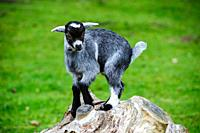 Pygmy Goat kid playing.