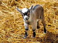 Two day old pygmy goat kid born on a smallholding in South Lanarkshire, Scotland.