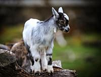 Pygmy Goat kid (approx 10 days old) on a small holding in South lanarkshire, Scotland.