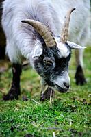 Adult pygmy goat.