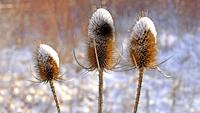 teasel with snow cap.