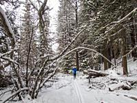 A winter scene with a woman cross-country skiing (model released) through the snow-covered forest at Lake Wenatchee State Park in eastern Washington S...
