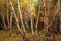 Birch forest on the route of the ibón of Piedrafita from Piedrafita de Jaca. Tena valley. Huesca.