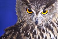 Indian eagle-owl, Bubo bengalensis, also called the rock eagle-owl or Bengal eagle-owl. Isolated over blue background.