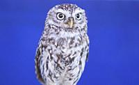 The little owl, Athene noctua, also known as the owl of Minerva. Isolated over blue background.