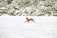 Dog running in the snow, The Netherlands, Europe.