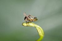 Horned Treehopper (Membracidae Family) on stem, Saba, Bali, Indonesia.