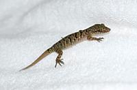 Bent-toed Gecko (Cyrtodactylus jatnai), endemic to Bali, Saba, Bali, Indonesia.