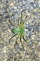 Sparassidae Spider (Sparassidae Family), Saba, Bali, Indonesia.