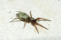 Louse Spider (Gnaphosidae Family), Saba, Bali, Indonesia.