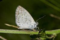 Lesser Grass Blue Butterfly (Zizina otis) on stem, Saba, Bali, Indonesia.