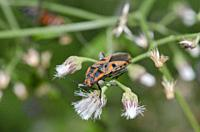 Darth Maul Bug (Spilostethus hospes) on flower, Saba, Bali, Indonesia.
