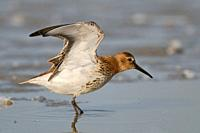 Dunlin ( Calidris alpina ) stretching its wings in shallow waters of the wadden sea, wildlife, Europe. .