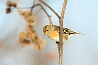 Brambling ( Fringilla montifringilla ) perched on the stem of a burdock, searching for food, seeds, wildlife, Europe.