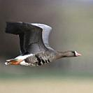 White-fronted Goose / Blaessgans ( Anser albifrons ), in fast flight, close by, in typical rural surrounding of their winter territory, side view, wil...