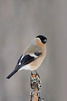 Eurasian Bullfinch ( Pyrrhula pyrrhula ), female, perched on top of a branch in some bushes, natural setting, wildlife, Europe. .