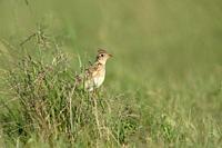 Skylark / Feldlerche ( Alauda arvensis ) perched, sitting in high grass of a green meadow, wildlife, Germany.