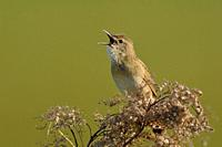 Common Grasshopper Warbler ( Locustella naevia ) in spring, singing loudly, courting, wildlife, Europe.