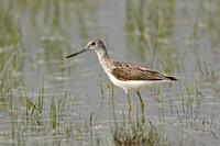 Greenshank ( Tringa nebularia ) in shallow water of an inundated meadow, wildlife, Europe.