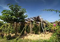 peppercorn vines growing in organic pepper farm in kampot province cambodia.