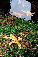 Starfish (Echinoderma) between the rocks in Muxia, A Coruña, Spain