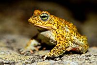 Natterjack toad (Epidalea calamita) in Muxia, A Coruña, Spain.