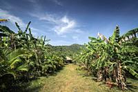 view of banana plantation on rural organic fruit farm near kampot cambodia on sunny day.