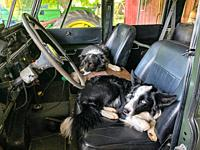Two Border Collies sit in front seat of Land Rover, Fallston, MD.