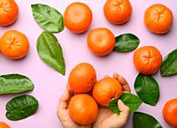 female hands hold ripe tangerines and green leaves on purple background, top view.