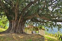 Tejo de Bermiego. The Bermiego Yew, with an age of over a thousand years, is one of the most important Natural Monuments of the Principality