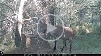 Male spanish ibex (Capra pyrenaica) on a forest, smelling and looking at the trail camera. Castillo de Villamalefa, Alto Mijares, Castellón, Spain.