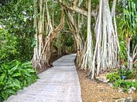 Walkway though Banyan trees in Marie Selby Botanical Gardens in Sarasota FLorida USA.