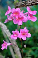 Garden flower, pink trumpet vine