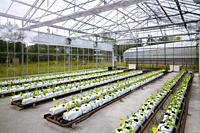 Swiss chard cultivation research, greenhouse, Institute for Agricultural Research and Development and the Natural Environment, Basque Country, Spain, ...
