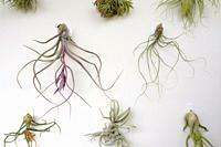 Group of plants of the genus Tilandsia hanging on a wall. Barcelona. Catalonia. Spain.