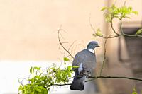 Common Woodpigeon (Columba palumbus), adult perched on Japanese pagoda tree (Styphnolobium japonicum). Birds begin to occupy the empty spaces due to t...