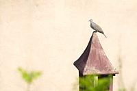 Eurasian Collared-dove (Streptopelia decaocto) perched on a chimney. Birds begin to occupy the empty spaces due to the lockdown caused by the COVID-19...