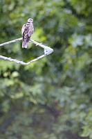 Eurasian Collared-dove (Streptopelia decaocto) perched on antenna. Birds begin to occupy the empty spaces due to the lockdown caused by the COVID-19 p...