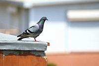 Feral pigeon (Columba livia domestica) perched on a rooftop. Barcelona. Catalonia. Spain.